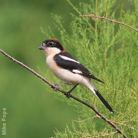Woodchat Shrike (Male)