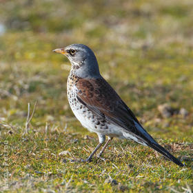 Fieldfare (Immature winter, GREECE)