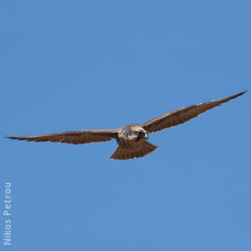 Lanner Falcon (GREECE)
