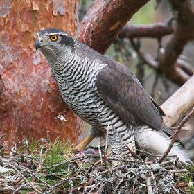 Northern Goshawk (Breeding, FINLAND)