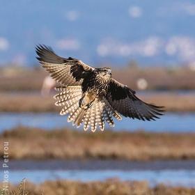 Saker Falcon (Immature,GREEECE)