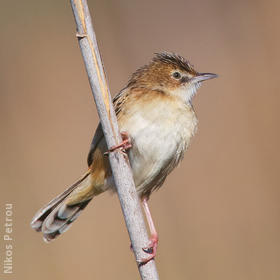 Zitting Cisticola (GREECE)