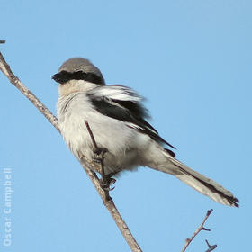 Arabian Grey Shrike (UAE)
