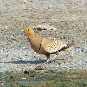 Chestnut-bellied Sandgrouse (Male, OMAN)