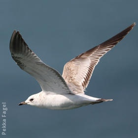Common Gull (Immature)