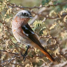 Eversmann's Redstart (Male winter)