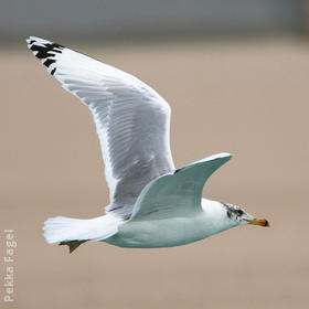 Great Black-headed Gull (Winter)