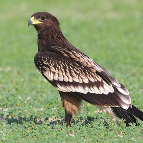 Greater Spotted Eagle (Immature)