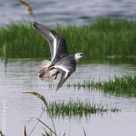 Grey Phalarope (Non - breeding plumage)