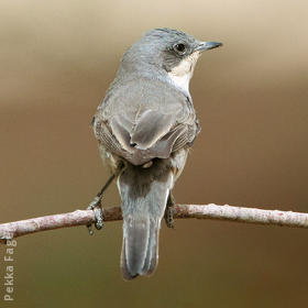 Hume's Whitethroat (Autumn)