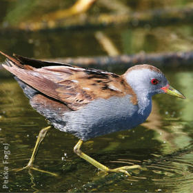 Little Crake (Male)