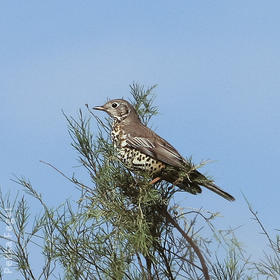 Mistle Thrush (Winter)