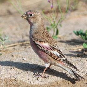 Mongolian Finch (Spring)