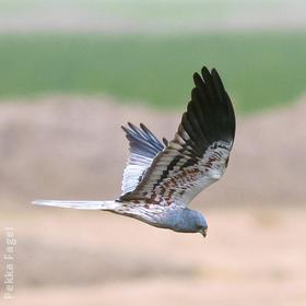 Montagu's Harrier (Male)