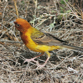 Red-headed Bunting (Male)