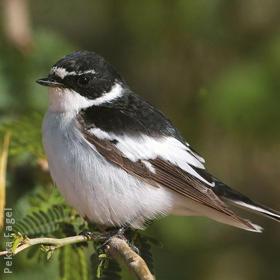 Semi-collared Flycatcher (Male)