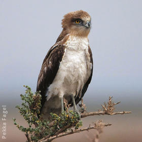 Short-toed Snake Eagle (Juvenile)