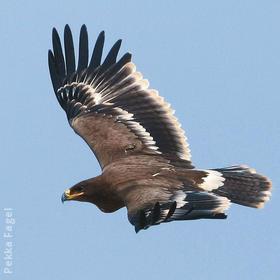 Steppe Eagle (Juvenile)