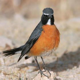 White-throated Robin (Male breeding plumage)