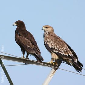 Eastern Imperial Eagle (Immature,right, with Greater Spotted Eagle, left)