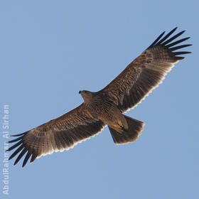 Eastern Imperial Eagle (Immature)