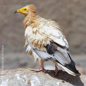 Egyptian Vulture (YEMEN)