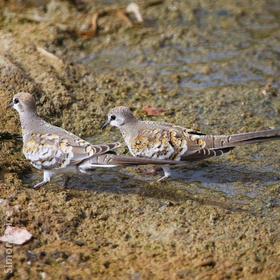 Namaqua Dove (Juveniles)