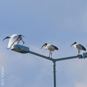 African Sacred Ibis (GREECE)
