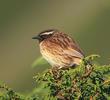 Black-throated Accentor - Male (KAZAKSTAN)