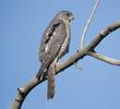 Levant Sparrowhawk (Female, ARMENIA)