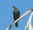 Common Starling (Winter)