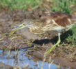 Squacco Heron (Immatureautumn)