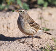 Water Pipit (Non-breeding plumage)