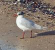 Mediterranean Gull (Winter)
