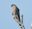 Levant Sparrowhawk (Male, GREECE)