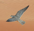 Barbary Falcon (UAE)