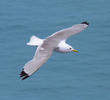 Black-legged Kittiwake (Breeding plumage, UK)