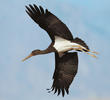 Black Stork (Immature, EGYPT)