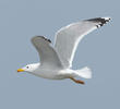 Caspian Gull (Early spring)