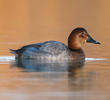 Common Pochard (Female, ITALY)