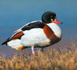 Common Shelduck (Female, ITALY)