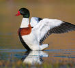 Common Shelduck (Male, ITALY)