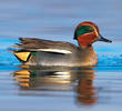 Eurasian Teal (Male, ITALY)