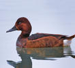 Ferruginous Duck (Female, ITALY)