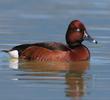 Ferruginous Duck (Male,ITALY)