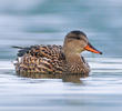 Gadwall (Female, ITALY)