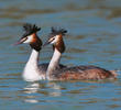 Great Crested Grebe (Breeding plumage, ITALY)