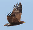 Lesser Spotted Eagle (EGYPT)
