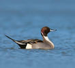 Northern Pintail (Male, ITALY)