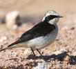 Pied Wheatear (Male pale-throated form)
